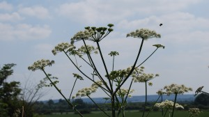 Cow Parsley with Bumblebee Jul13
